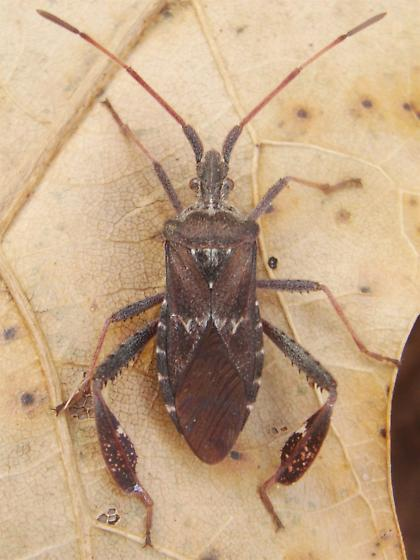 Leaf-footed Pine Seed Bug - Leptoglossus corculus