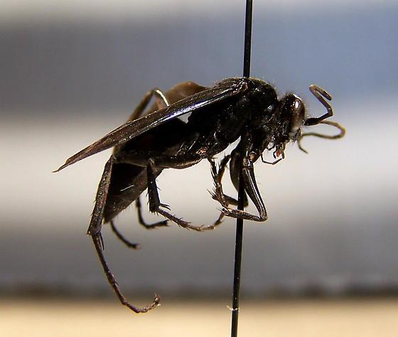 Anoplius cleora - female