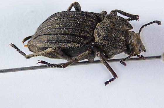 Pelecyphorus? - Pelecyphorus liratus - male