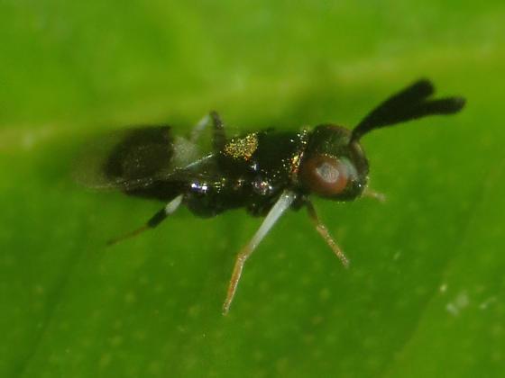 Is this Tetracnemoidea sydneyensis? - Tetracnemoidea sydneyensis - female