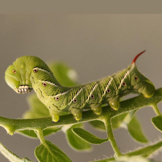 Carolina Sphinx Moth Caterpillar - 7775 - Lateral - Manduca sexta