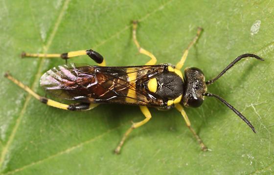 sawfly - Macrophya bifasciata - female