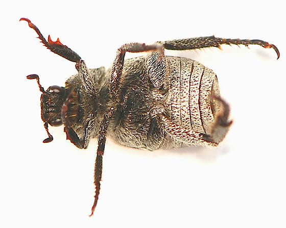 Three lined Hoplia beetle - Hoplia trifasciata - male