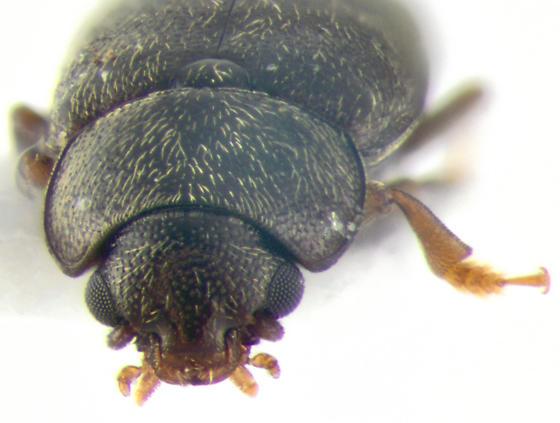 Nitidulidae, frontal - Carpophilus brachypterus