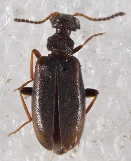 Beetle Anthicidae