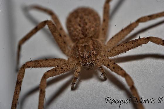 Wall Crab Spider T. Actophilus?? or Running Crab? - Philodromus - female