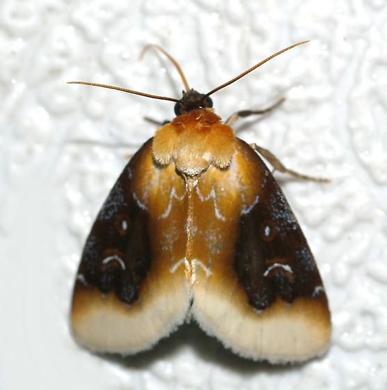 moth - Chrysoecia scira