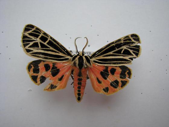 Virgin Tiger Moth - Apantesis virgo