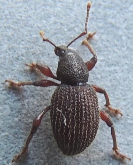 weevil suspect - Otiorhynchus ligneus