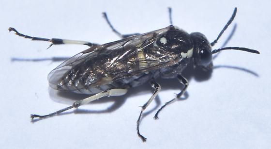 Sawfly (Tenthredinidae) - Filacus - female