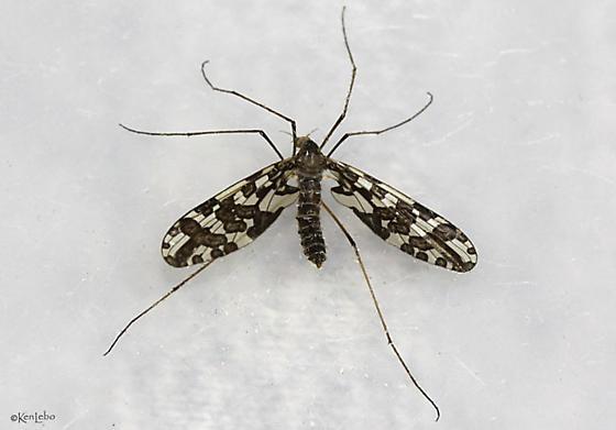 crane fly - Protoplasa fitchii - female