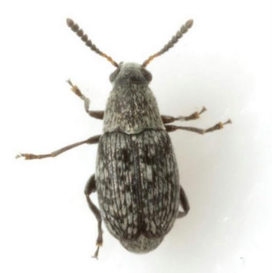 Acanthoscelides tenuis Bottimer - Acanthoscelides tenuis