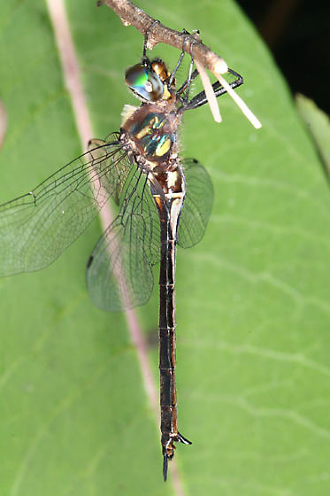 Clamp-tipped Emerald - Somatochlora tenebrosa - female