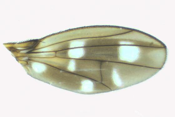 Diastatidae