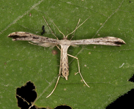Ragweed Plume Moth - Adaina ambrosiae