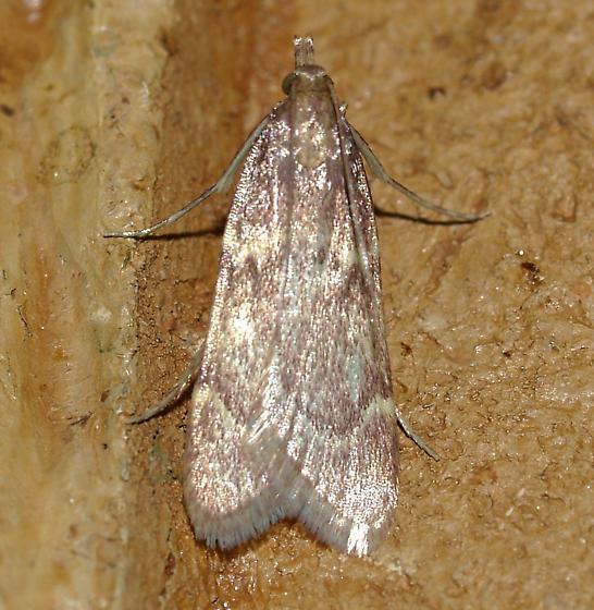Moth - Acallis gripalis