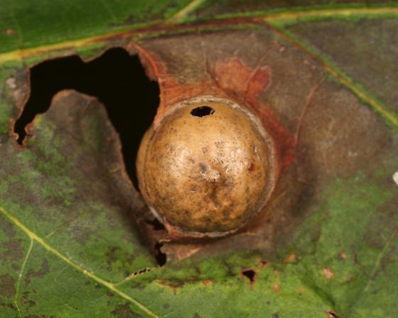 Red oak gall - Amphibolips quercusostensackenii