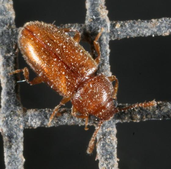 Beetle - Cryptophilus integer