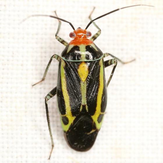 Poecilocapsus lineatus (Fabricius) - Poecilocapsus lineatus