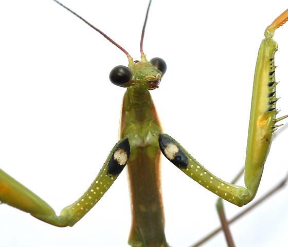 Mantis religiosa - male