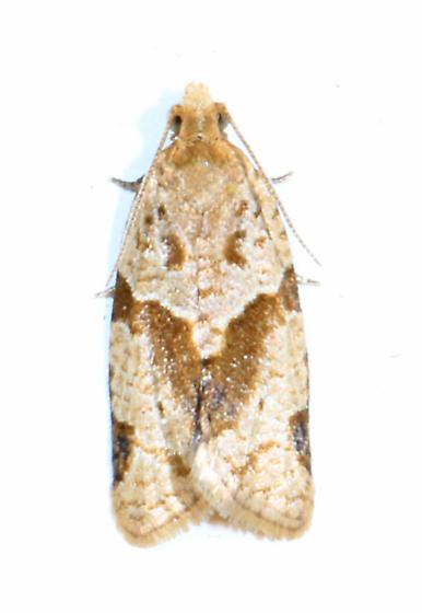 tiny moth - Clepsis peritana