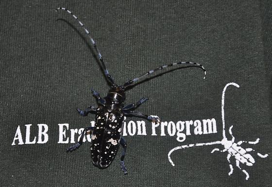 Asian Longhorned Beetle - Anoplophora glabripennis - female