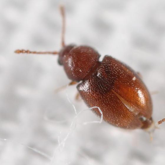 Left beetle at light - Atomaria
