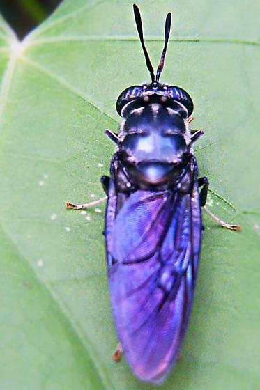Purple Fly - Hermetia illucens