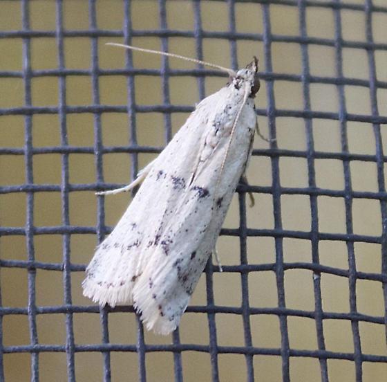 Moth - White with three Broken Blue Stripes - Sosipatra rileyella