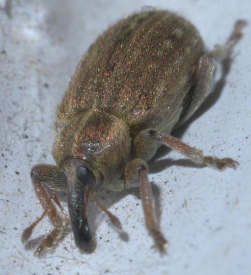 Brown weevil with dark snout - Hypera postica