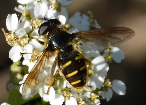 Fly? on Yarrow - Sericomyia chalcopyga