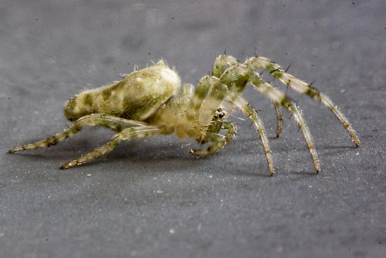 Allocyclosa bifurca - female