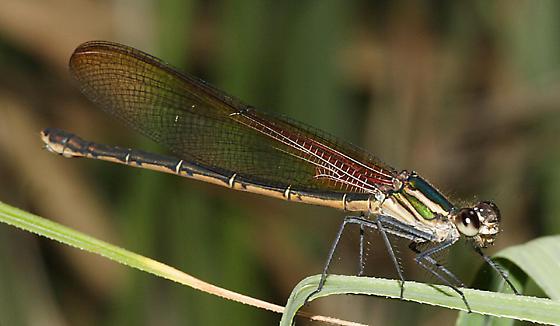 Canyon Rubyspot - Hetaerina vulnerata - female