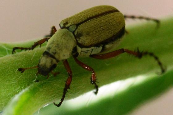 Shade Loving Beetle - Macrodactylus uniformis