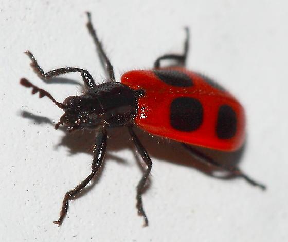 4-spotted Checkered Beetle - Pelonides quadripunctata - female