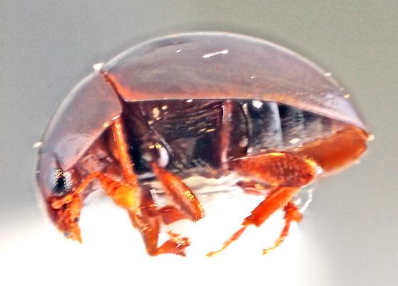 Phalacridae