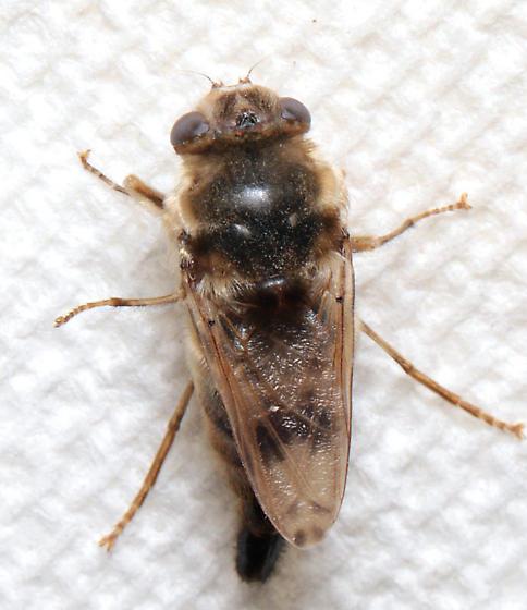 Bot fly? - Gasterophilus intestinalis - female
