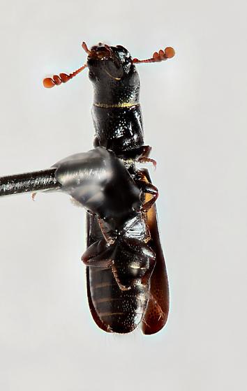 Nemosoma punctatum - Nemozoma punctulatum