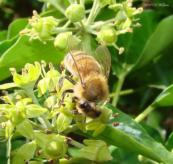 Which Honey Bee? - Apis mellifera - female