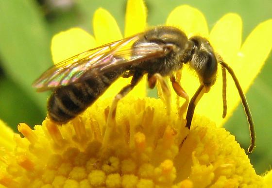 Nectaring bee - Halictus confusus - male