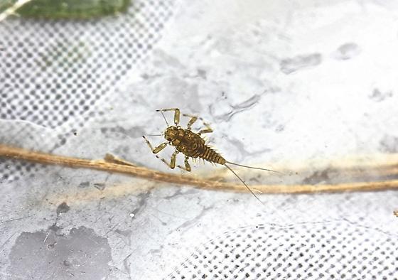 Acentrella turbida - female