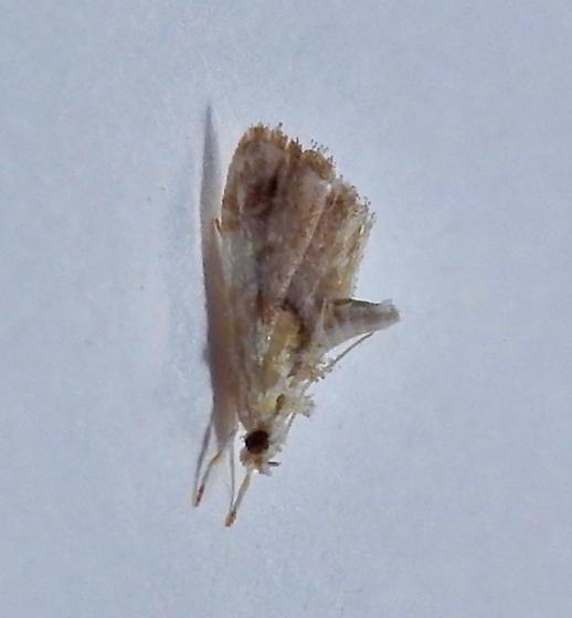 tiny moth - Glaphyria basiflavalis