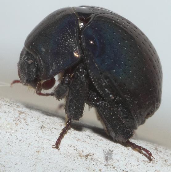 Round, dark beetle - Germarostes globosus