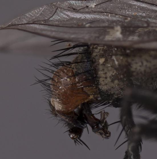 Fly 14 - male