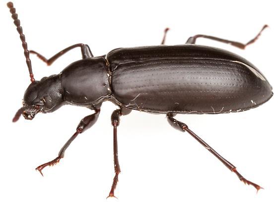 Darkling Beetle - Zophobas subnitens