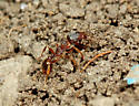Ants - Tetramorium immigrans - female