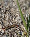 Black and yellow caterpillar - Hyles euphorbiae