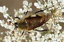 bumble bee scarab - Lichnanthe rathvoni