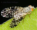 Little fly with spotted wings - Campiglossa