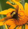 yellow belted Tachinid - Xanthoepalpus bicolor